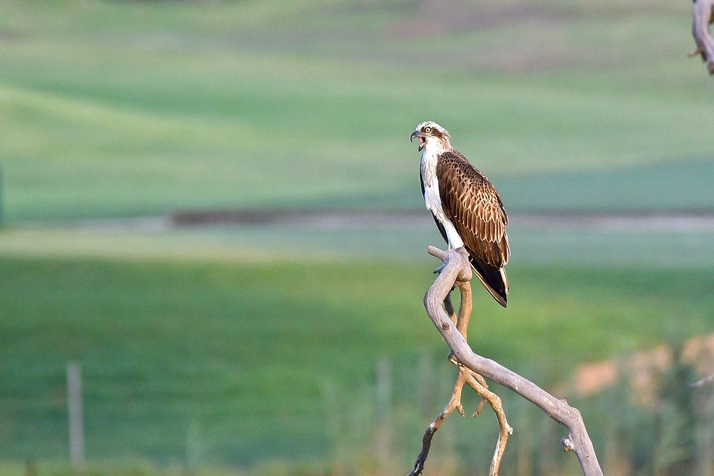 Osprey ( early morning light)