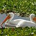 Flickr photo 'American White Pelican (Pelecanus erythrorhynchos)' by: Mary Keim.