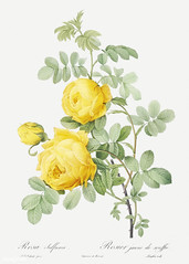 Vintage Sulphur rose drawing