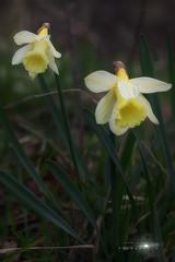 Narcisus pallidiflorus