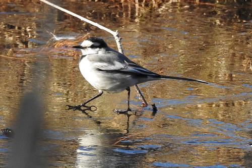石神井公園の野鳥~セグロセキレイの場所