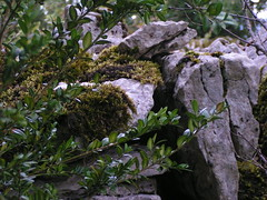 20080914 36773 1015 Jakobus Buchsbaum Steinmauer Platten Moos - Photo of Espagnac-Sainte-Eulalie