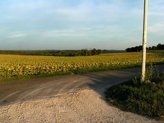 20080917 38481 1018 Jakobus Weg Sonnenblumenfeld - Photo of Sainte-Alauzie