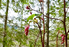 Ribes sanguineum (red-flowering currant)