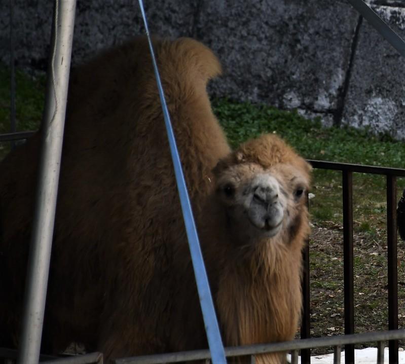 Circus Camels 19.03 (1)