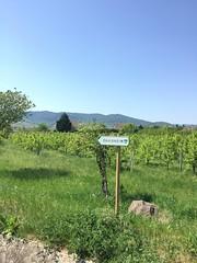 Biking Colmar to Eguisheim