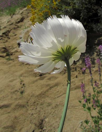 Desert Flower (1841)