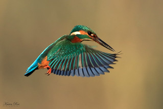 Kingfisher Hovering | by Karen Roe