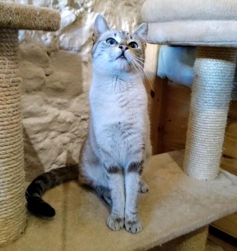 Teryl, preciosa gata siamesa tabby esterilizada nacida en Septiembre´18, en adopción. Valencia. ADOPTADA. 47226938111_655b0d6c85