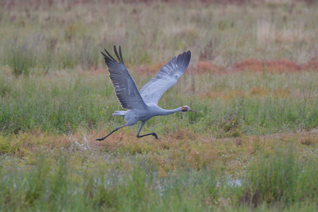Brolga ( up wings up )