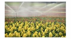 L'autre pays des tulipes (I) - Photo of Lurs