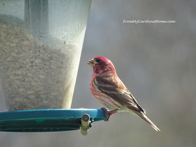 Purple Finch at FromMyCarolinaHome.com