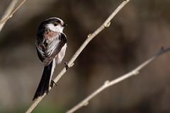 Mésange à longue queue - Aegithalos caudatus - Long-tailed Tit
