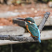 Kingfisher 1903171290.jpg