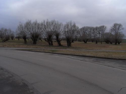 20110318 0205 246 Jakobus Weidenbäume