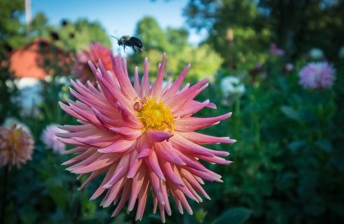 A Day with the Dahlias #1