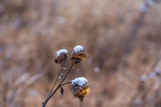 枯れ花に新雪
