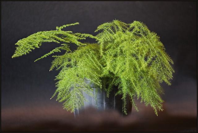 Asparagus setaceus, Asparagus plumosus, Canon EOS 5D MARK IV, Sigma APO Macro 150mm f/2.8 EX DG HSM