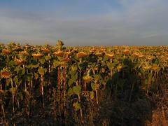 20080917 38465 1018 Jakobus Sonneblumenfeld Pilgerschatten - Photo of Sainte-Alauzie