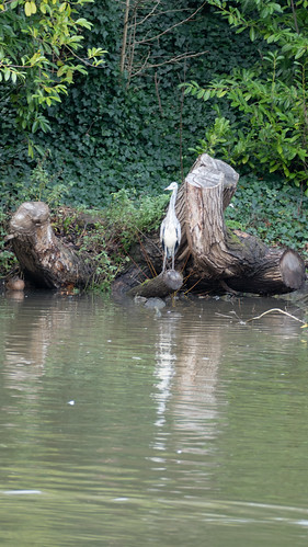 Young heron, watchful by Avon