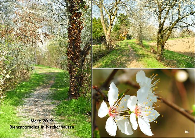Neckarhausen im März 2019: Mein ehemaliger Bienenstandort - ein Bienenparadies ... Apfelbäume, Kirschbäume, Linden, Akazien, blühende Weißdornhecken ... Fotos und Collage: Brigitte Stolle