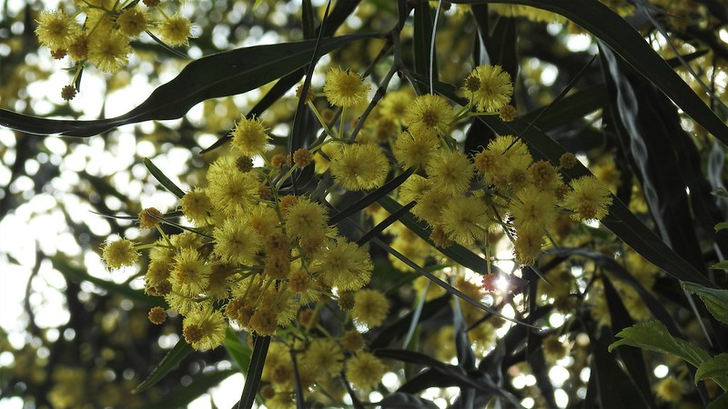 Акация ивовидная Acacia saligna