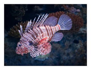Obrázek Lisbon Oceanarium. lisbon portugal abroad animal aquarium bordered captivity citybreak fish holiday holiday2018lisbon indoors lionfish tank vacation water wildlife