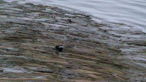 Shoreline pied wagtail, Topsham