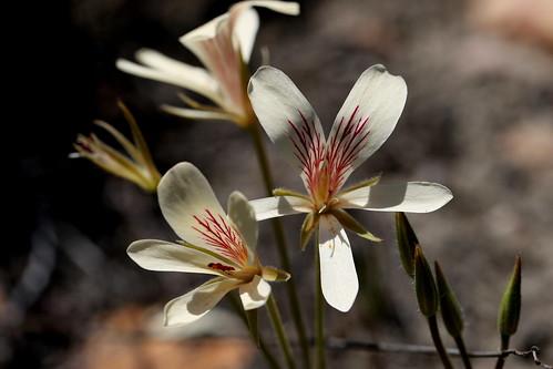 Pelargonium carneum