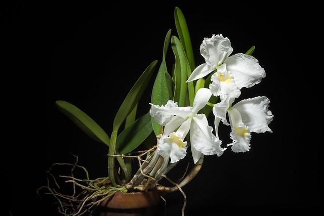 Photo:[Between The Lemon and Port Cruz, Venezuela] Cattleya lueddemanniana fma. alba 'Xavier Caballero' AM/SVCN Rchb.f., Xenia Orchid. 1: 29 (1854) By sunoochi