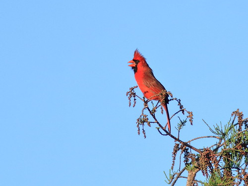 Northern Cardinal male 092-20190326