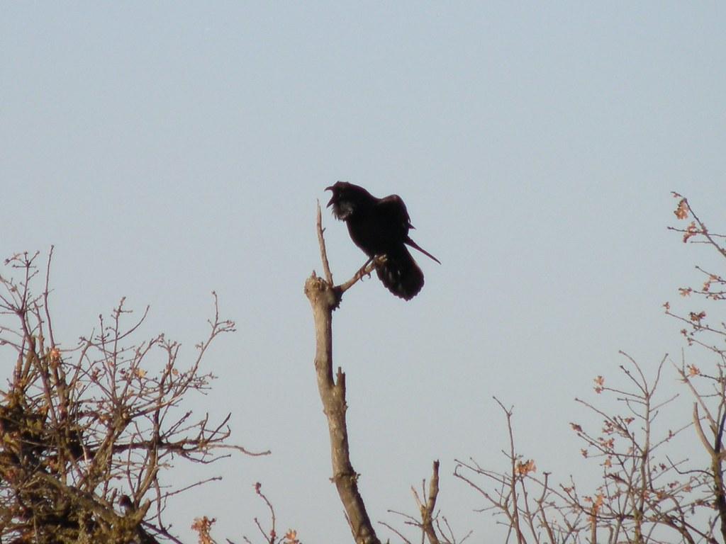 P3095637...common raven