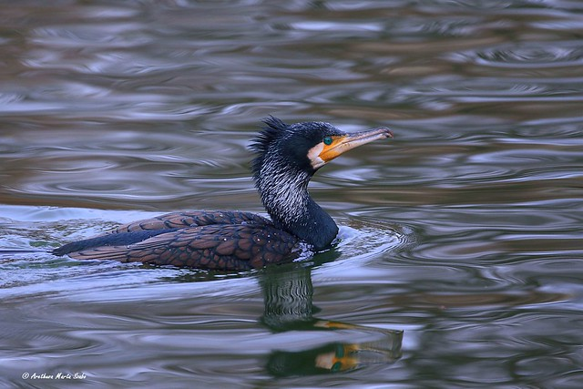 Great cormorant (Phalacrocorax carbo), Κορμοράνος