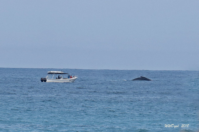 Humpback Whale, Canon EOS 80D, Canon EF-S 18-200mm f/3.5-5.6 IS