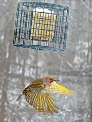 Colaptes auratus auratus (yellow-shafted flicker) 4