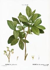 Eastern leatherwood (Dirca palustris) illustration from Traité