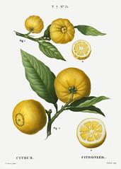 Clusters of citrus illustration from Traité des Arbres et Arbus