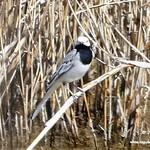 Aves en las lagunas de La Guardia (Toledo) 17-3-2019