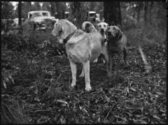 St. Ives Dog Show
