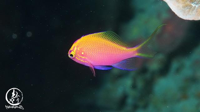 ハナゴンベ幼魚ちゃんは最初に見たサイズから3倍くらい大きく。でもまだまだカワイイ♪