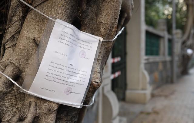 般咸道石牆樹被斬
