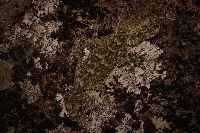 Saltuarius moritzii (Moritz Leaf-tailed Gecko)