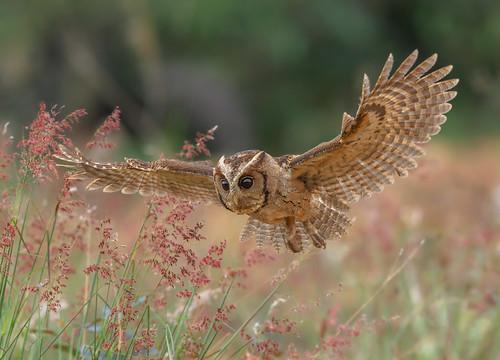 Collared Scops owl