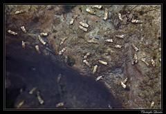 Larves de phrygane (trichoptera)
