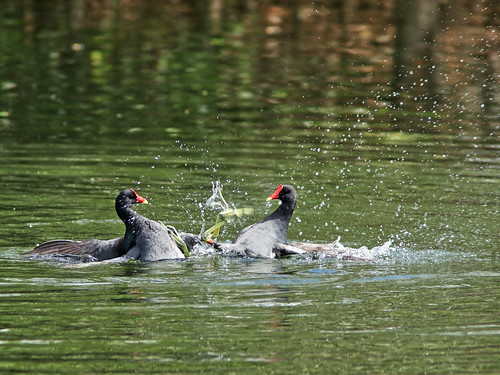 Common Gallinules mix it up 02-20190308