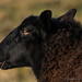 Black Sheep_C270046
