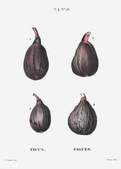 Fig (Ficus) illustration from Traité des Arbres et Arbustes (18