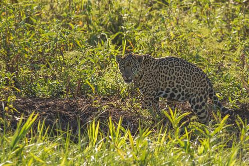 A well fed Jaguar!!