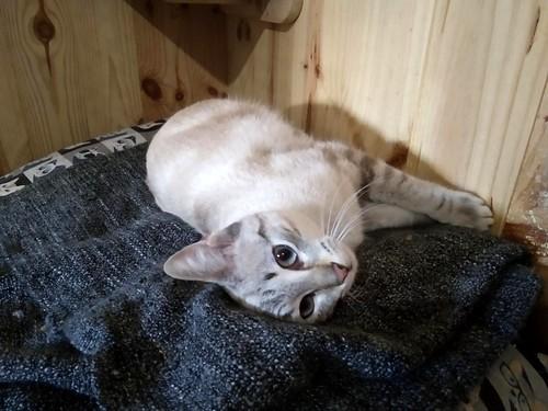 Teryl, preciosa gata siamesa tabby esterilizada nacida en Septiembre´18, en adopción. Valencia. ADOPTADA. 46503509504_75fc092684