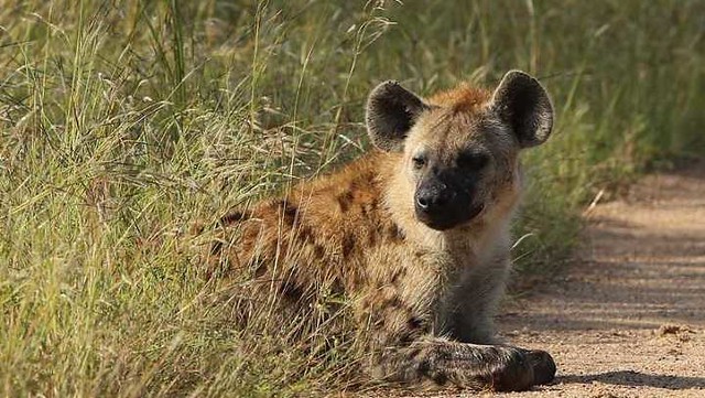 3301 A well-known restaurant shut down for selling Hyena meat in Obaidah, Saudi Arabia 02